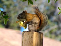 Apples The Squirrel atop my fence - Eating somebody's apple core... (benlarhome) Tags: canada calgary alberta kanada greatphotographers gnneniyisithebestofday platinumpeaceaward