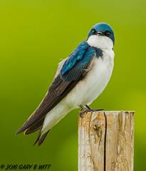 Tree Swallow (orencobirder) Tags: birds flickrexport swallows smallbirds