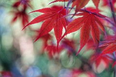 New maple leaves (JPShen) Tags: new red green leaves leaf maple bokeh