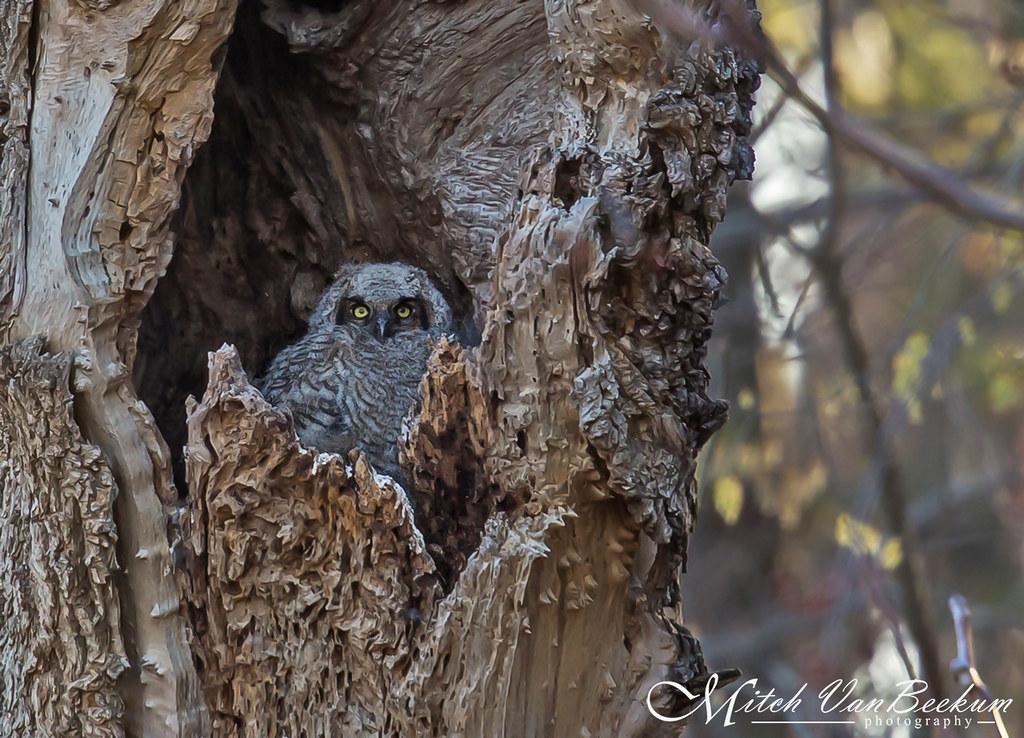 It Is What It Is! (Great Horned Owlet - NJ)