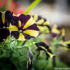 DSC03254 (ranblv) Tags: flowers outdoors 50mm israel telaviv bokeh sony a6000 ranblv