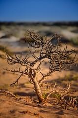 L'arbre des dunes / The tree of the dunes (YS-Photography) Tags: bokeh plage publication îlescanaries paysagesmarins playateguise