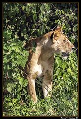 Tarangire 2016 12 (Havaux Photo) Tags: elephant robert rio river tanzania photo lion ostrich leon zebra antelope avestruz giraffe gazelle elefant antilope tarangire elefante riu gacela cebra estru jirafa lleo tarangirenationalpark antilop gasela havaux