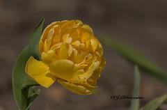 Tijgertulp (jeannette.dejong) Tags: groen ngc geel noordholland bruin naturelovers tijgertulp