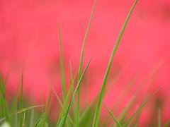 Grass (peeteninge) Tags: pink green nature grass groen outdoor natuur gras roze