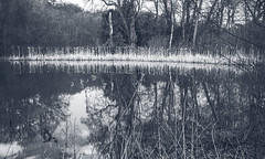 Reed lined lake - YSP (Bon Espoir Photography) Tags: trees england lake monochrome reflections reeds yorkshire freshwater yorkshiresculpturepark manmadelake monkbretton nikond750