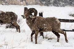 DSC_0857 (bryce yamashita) Tags: snow nikon colorado gardenofthegods coloradosprings d500 yamashita bighornsheep