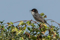 Sardinian Warbler (katyarud) Tags: bird birds israel   passeriformes    ramathanadiv sylviamelanocephala sardinianwarbler sylviidae