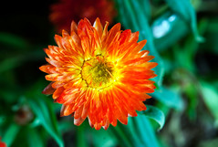 Single ball of fire (Pensive glance) Tags: plant flower nature fleur plante aster everlasting immortelle