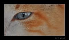 Spiegelnde Katzenaugen * Reflective cat eyes * Ojos de gato reflectantes * . DSC_0296-002 (maya.walti HK) Tags: cats animals tiere eyes flickr gatos ojos animales augen katzen 2012 catseyes katzenaugen ojosdegatos nikond3000 020516 copyrightbymayawaltihk nartus