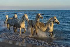 40081120 (wolfgangkaehler) Tags: horse white france beach water french europe mediterranean european running splash herd mediterraneansea eveninglight camargue southernfrance splashing galloping 2016 whitehorses camarguehorses