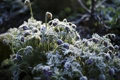 Frozen (mripp) Tags: leica flowers art nature germany outside bayern deutschland bavaria 50mm europa europe kunst m9 lumen summicorn