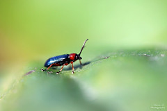 Criocre des Crales (Mariie76) Tags: macro nature jaune rouge vert animaux insectes petit antennes macrophotographie crales melanopus criocre oulema