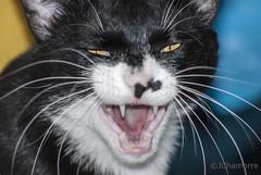 Gato salvaje (landscapesspain) Tags: naturaleza blanco wildlife negro gato peligro felino enfado naturalez salvaje