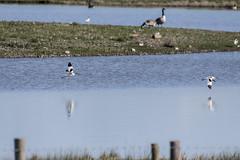 Avocet (28) (Mal.Durbin Photography) Tags: nature birds newport naturereserve newportwetlands maldurbin goldcliffnewport