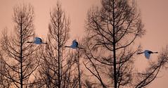 Japan (richard.mcmanus.) Tags: trees winter sunset birds animal japan hokkaido wildlife cranes gettyimages mcmanus tsurui redcrownedcranes