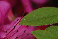 Fine as Frog Hair (Get The Flick) Tags: georgia spring azalea encore autumnroyalty