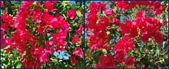 Key West (Florida) Trip 2015 0339-0341 (edgarandron - Busy!) Tags: flowers plants flower keys all florida bougainvillea to keywest floridakeys