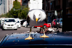 The Killer (color) (lucas2068) Tags: city color car kill dove seagull ciudad paloma eat coche comer scavenger matar carroero gaqviota