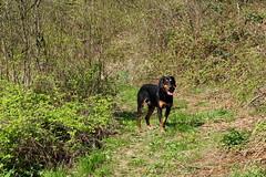 Frakk (debreczeniemoke) Tags: dog spring meadow kutya tavasz frakk rét transylvanianhound erdélyikopó olympusem5