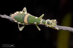 Theopropus elegans_MG_0938 copy (Kurt (OrionHerpAdventure.com)) Tags: mantis mantid theopropuselegans bandedflowermantis mantidsofmalaysia