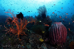 [ C R O W D E D ] (Randi Ang) Tags: bali coral canon indonesia photography eos underwater angle wide dive scuba diving fisheye ang reef 15mm randi 6d amed