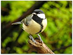 GT - posing! (macfudge1UK) Tags: uk greatbritain england bird nature fauna spring nikon europe wildlife gb perch coolpix oxfordshire greattit avian parusmajor oxon 2016 perching britishbirds britishbird bbcspringwatch allrightsreserved p610 rspbgreenstatus nikoncoolpixp610 coolpixp610