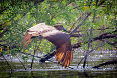 Hamerkop 2 (ScottMcQueen) Tags: africa victoriafalls zambia zambezi travelphotography hamerkop yolo guidedtour zambeziriver gadventures