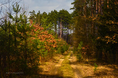 Forest near Klucze (ChemiQ81) Tags: las les forest poland polska polish polen wald polonia pologne 2016  polsko klucze  puola plland lenkija pollando   poola poljska polija pholainn     chemiq polanya lengyelorszgban