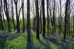 Bluebell Wood 3 (LukeAndrew94) Tags: flowers blue trees light sky horses plants sun colour reflection green nature vertical bluebells forest photoshop bristol landscape spring woods nikon scenery glare colours shine purple natural path walk beam april blaise bluebell hamlet stables lightbeam 2016 blaisecastleestate blaisecastle beamoflight henbury northbristol lawrenceweston hawwood blaisecastlewoods d3100 avonridingcentre aprilbluebells