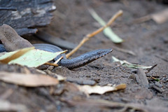 Legless Lizard (Kaptain Kobold) Tags: animal nationalpark reptile wildlife australia lizard nsw legless kaptainkobold weddinmountains