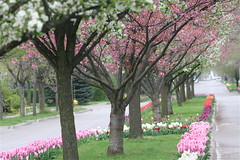 IMG_7907 (Five eyes) Tags: flowers flower holland color nature beauty garden spring dof tulips beds michigan fresh neighborhood beginning tuliptime promise lanes 2016