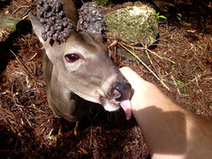 Belize City - Deer (The Popular Consciousness) Tags: belize belizecity centralamerica