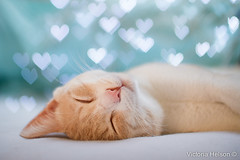 Sweet dreams !! (Victoria Helson photography) Tags: colors cat dof heart bokeh dream