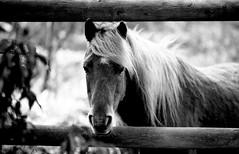 Pony (mazz_5) Tags: portrait blackandwhite horse black film nature