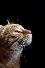 Un gattino rossino (Steph ) Tags: love cat sguardo rosso gatto amore occhio bellezza thommy catlovers gattorosso