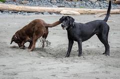 China Beach-3482 (mariskar) Tags: dog canada beach dogs nature beauty vancouverisland labs pacificnorthwest labradorretriever chinabeach westcoast pnw islandlife islandliving explorebcexplorecanada westcoastbeastcoast beastiebuddies