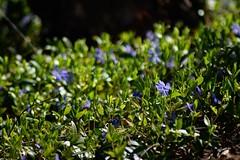 spring purple (heyjudephoto) Tags: morning flowers light sunlight green nature grass spring purple pov low tiny