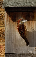 Feathering his nest (richbriggs28. Love being a grandad :)) Tags: nest box feather sparrow richbriggs28