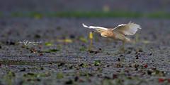 Low Flight (Wasif Yaqeen) Tags: pakistan heron nature birds animals outdoor wildlife animalplanet nationalgeographic birdshabitat lowflight wasif birdsofpakistan wildlifeofpakistan pakistanwildlife pakistannature birdsinnaturalhabitat wasifyaqeen wasifyaqeenphotography