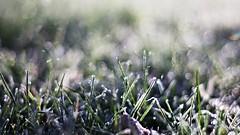 frozen garden grass (SS) Tags: italy plant field grass garden frost pentax bokeh outdoor depthoffield dew lazio k5 smcpentaxm50mmf17 ss