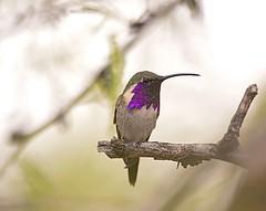 lucifer hummingbird (hawk person) Tags: male lucifer luciferhummingbird calothoraxlucifer calothorax