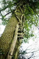 Creeping Ivy (judy dean) Tags: tree leaves branch ivy trunk creeper 2016 judydean sonya6000