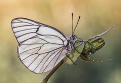 _4240104 (Masaco76) Tags: flowers naturaleza macro verde green primavera blanco nature butterfly bug spain ngc flor natura olympus gotas mariposa zuiko rocio omd insecto papallona macronature mundomacro macrodreams