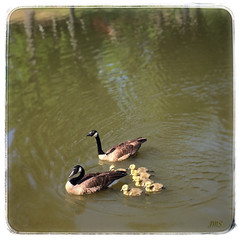 Goose family. (jeanne.marie.) Tags: family lake water swimming spring goslings canadiangeese babybirds babyanimals iphoneography iphone5s