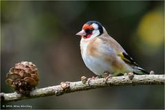 Goldfinch (Mike Woolley) Tags: bird spring nikon wildlife goldfinch