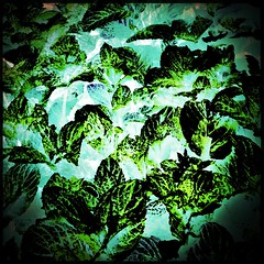 Mint leaves II (HSS) (Caroline Oades) Tags: plant leaves doubleexposure mint inverted herb kitchengarden hss enlight hipstamatic slidersunday