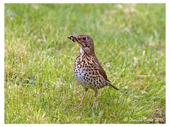 DS0D3752-Song-Thrush (duncancooke.happydayz) Tags: uk bridge bird nature birds animal woodland garden photo outdoor song wildlife border british hay thrush distinguishedbirds birdperfect naturesgreenpeace
