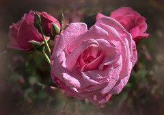 Everything's coming up roses! (Good Nature One) Tags: pink flower macro green nature rose bloom buds everythingscominguproses