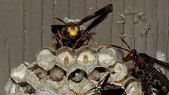 Family portrait (Distraction Limited) Tags: arizona nature tucson insects eggs wasps larvae coronadonationalforest catalinamountains catalinas sabinocanyon santacatalinamountains polistes waspnests paperwasps paperwaspnests umbrellawasps sabinocanyon20160427